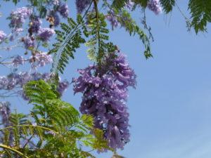 Jacaranda detalle flor 4